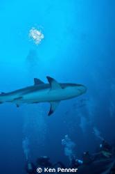 Caribbean Reef Shark Roatan, Honduras by Ken Penner
