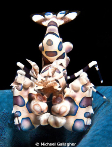 Harlequin Shrimp claiming a starfish, Indonesia by Michael Gallagher