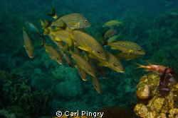 Blue striped grunts.  Roatan, 2011 by Carl Pingry