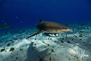 Lemon Sharks always seem to have a smile on their face an... by Steven Anderson