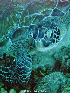 Green Turtle portrait by Lisa Hinderlider