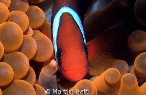 Clown in unusual red anemone by Marylin Batt