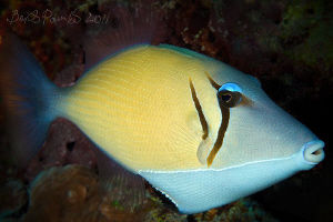 Boomerang triggerfish in Maamigili Beyru - South Ari Atol... by Boris Pamikov