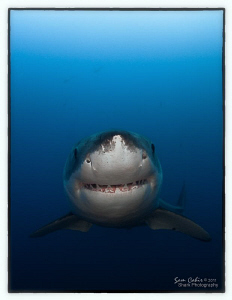 'Shaggy'.  This 4m Great White cruised in while we were d... by Sam Cahir