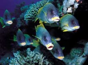 Sweetlipfish, Red Sea, Camersystem; Mamyia 645 in Hugyfot... by Walter Lehmann