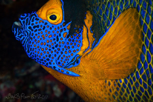 Yellowmask Angelfish / Blueface Angelfish
