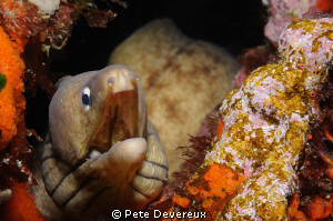 Simple shot of Grey Moray Eel that I had a chat to at the... by Pete Devereux