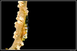Goby... by Dray Van Beeck