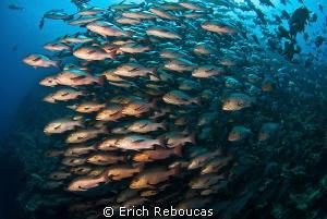 Snapper spawning by Erich Reboucas