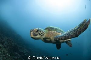 Green sea turtle shot up close with fish eye 10-17mm tokina. by David Valencia
