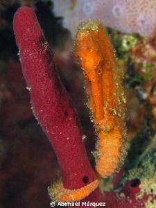 Orange Seahorse by Abimael Márquez