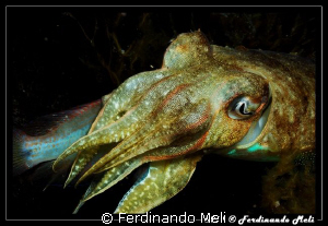 Hunting of cuttlefish. by Ferdinando Meli