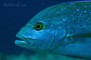 Bluefin trevally in Rangali Manta point - West Ari Atoll