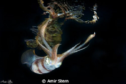 Squid with reflection . by Amir Stern