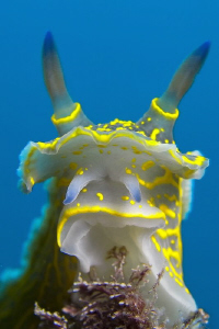 Head of a Hypselodoris picta by Roland Bach