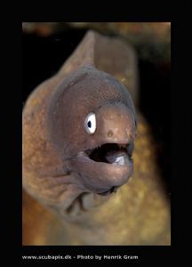 Peppered Moray Eel by Henrik Gram Rasmussen