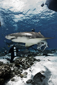 Although Tiger Beach is know for Tiger Sharks ...the Lemo... by Steven Anderson