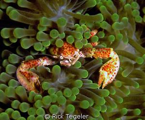 Porcelin crab.  Enjoy! by Rick Tegeler