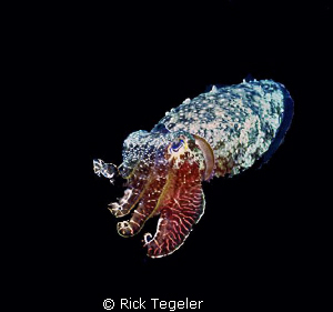 Night cuttle.  Enjoy! by Rick Tegeler