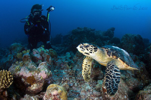 Hawksbill turtle in Holyday Thundu - South Ari Atoll by Boris Pamikov