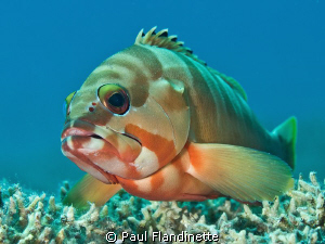 I stayed with this Blacktip grouper for quite a while as ... by Paul Flandinette