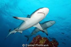 shark pair by Daniel Flormann
