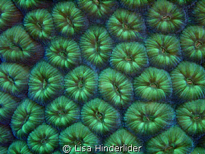 Some corals look just as beautiful closed up as they are ... by Lisa Hinderlider