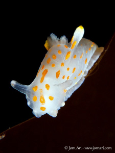 Polycera quadrilineata by Jorn Ari