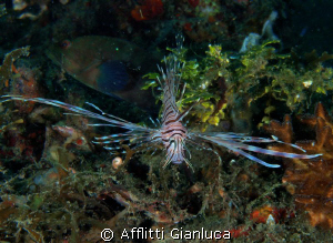 lion fish by Afflitti Gianluca