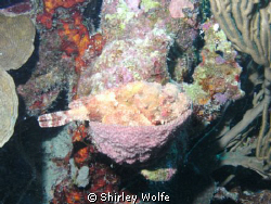 TOOK THIS WITH SEALIFE CAMERA IN BONAIRE.  SCORPIONFISH, ... by Shirley Wolfe