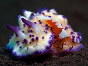 Emperor Shrimp on Mexichromis sp. by Doug Anderson