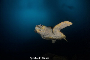 Crusty the Loggerhead by Mark Gray