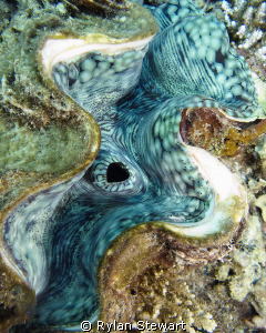 A close up of a Giant Clam by Rylan Stewart