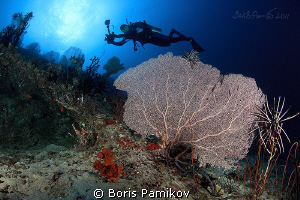 Cartoon diver over sea fans in Kuda Rah Thila - South Ari... by Boris Pamikov