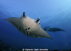 Mantas at cleaning station by Cipriano (ripli) Gonzalez