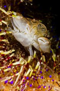 Crab: Secret Bay, Anilao by Tony Cherbas