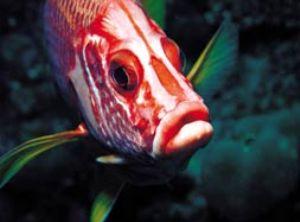 Soldierfish, Red Sea, Camerasystem; Mamiya 645 in Hugyfot... by Walter Lehmann
