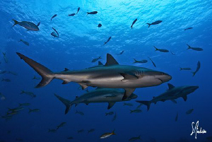 Here we come!!!!! Reef Sharks show up for an action party! by Steven Anderson