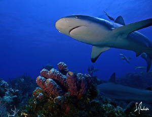 Reef Shark swims over colorful sponges at Ginormous by Steven Anderson