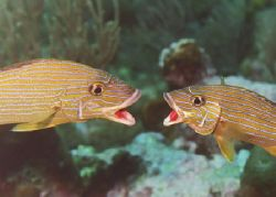 Bluestriped Grunts fighting. by Jacques Miller