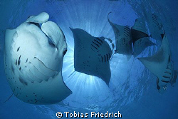 """Manta Madness"" - lot's of Manta Rays around in Hanifaru ... by Tobias Friedrich"