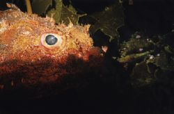 Scorpion fish - Middle Arch, Poor Knights, New Zealand. S... by Quentin Long