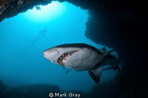"""Grey Nurse at """"The Cod hole"""" , Julian Rocks, Byron Bay by Mark Gray"""