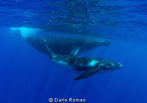 Whale Humpback is swimming with her baby