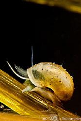 Freshwater SNALE - 1CM !!! by Martin Steinmeier