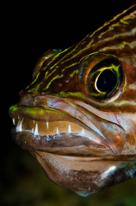 Mouth-brooding Cardinalfish by Paul Colley