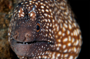 Ascension Island Fangtooth Moray by Paul Colley