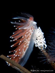 Flabellina verrucosa eating a Tubularia indivisa by Jorn Ari