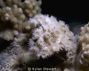 Delicate corals at night by Rylan Stewart