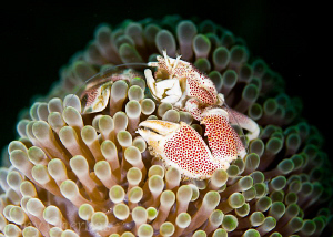Porcelain Crab in Contrast by Tony Cherbas